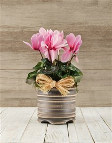 flowers: Cyclamen in a Pot!