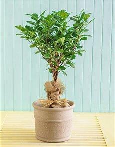 plants: Ficus Modame Braided in Ceramic Pot!