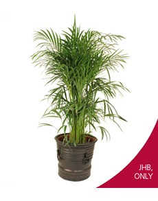 flowers: Areca Bamboo in Clay Pot!