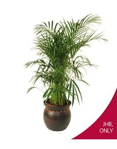 flowers: Areca Bamboo in Beaded Pot!