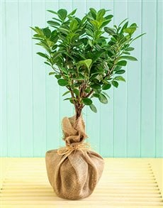 plants: Ficus Modame Braided in Hessian!
