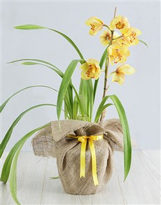 plants: Yellow Cymbidium Orchid in Hessian!