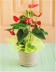 plants: Anthurium Plant in a Ceramic Pot!
