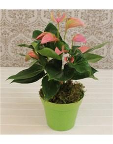 plants: Anthurium Plant in a Planter!