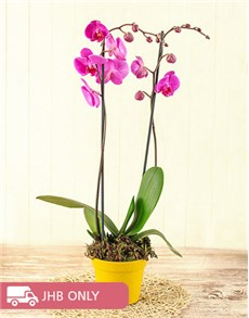 plants: Phalaenopsis Orchid Gift!