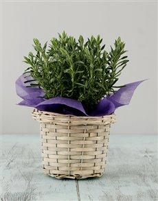 plants: Lavender Basket!