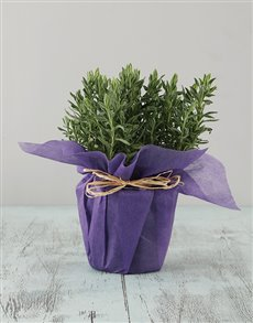 gifts: Lavender in Wrapping!