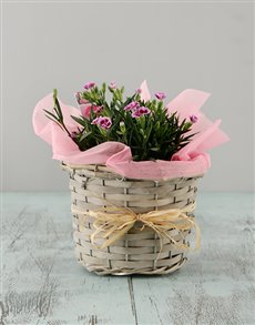 plants: Dianthus in a Basket!