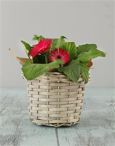 flowers: Mini Gerbera Basket!