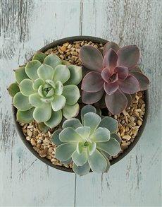 plants: Echeveria Succulent Plants in Stone Vase!