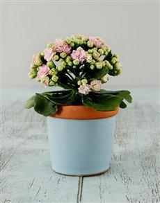 plants: Kalendiva in Pottery Vase!