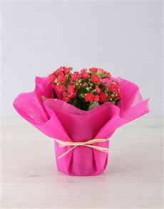 flowers: Colourful Kalanchoe in Tissue Paper!