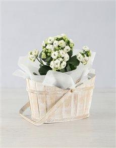 plants: Kalanchoe White Wash Basket!