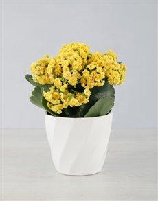 flowers: Kalanchoe In Planter Pot!