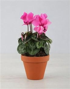 plants: Itsy Bitsy Cyclamen Pot Plant!