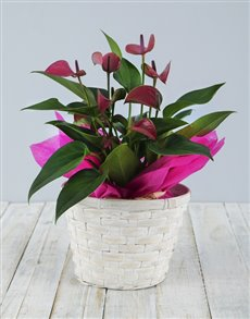 plants: Anthurium in White Basket!