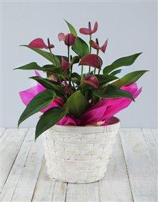 plants: Pink Anthurium in White Basket!