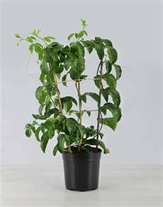 plants: Granadilla Fruit Tree Plant!