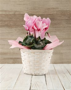 plants: Pink Cyclamen in a Crysanth Basket!