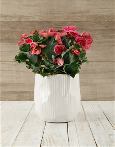 plants: Pink Begonia in Glazed Pot !