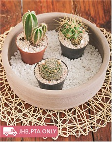 plants: Cacti in Ceramic Pot!