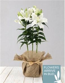 plants: Casablanca Lily in Hessian!