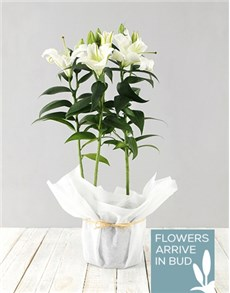 Casablanca Lily in white paper