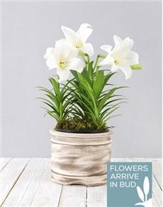 plants: St Joseph Lily Pot!