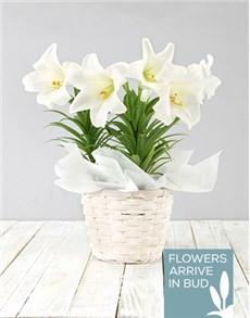 plants: St Joseph Lily Planter!