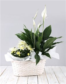 plants: Mixed Spathiphyllum Basket!