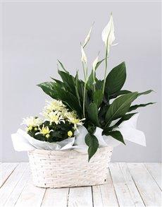 plants: Mixed Spathiphyllum Basket!