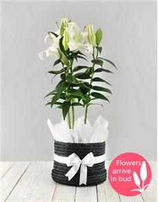 plants: Casablanca Lily Plant in Hat Box!