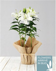 plants: Casablanca Lily Plant in Brown Paper!