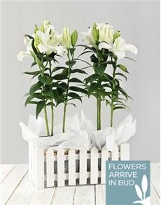 plants: Casablanca Lily Picket Fence!