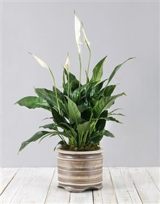 flowers: Spathiphyllum Pot Plant!