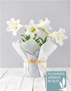 plants: St Joseph Lily Plant in White Paper!