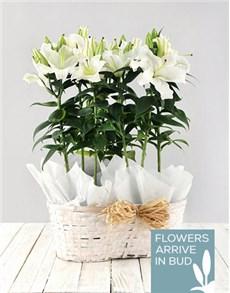 plants: Casablanca Lily Basket!