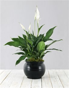plants: Spathiphyllum in Black Pot!
