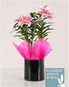 flowers: Roselily Plant in a Black Vase!