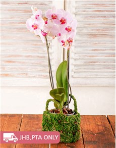 plants: Phalaenopsis Orchid in a Moss Basket!