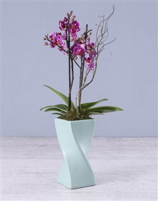 plants: Midi Orchid in a Blue Ceramic Twisty Vase!