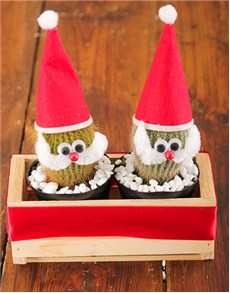 plants: Wooden Box Father Christmas Cacti!
