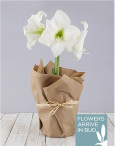 flowers: White Amaryllis in Craft Paper!
