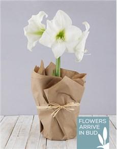 flowers: White Amaryllis in Craft Paper!