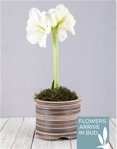 flowers: White Amaryllis Pot!