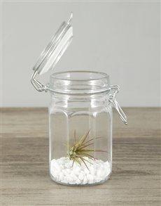 plants: Ionantha Fuego Air Plant in Glass Jar!