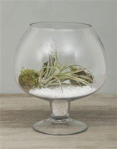plants: Himnorum Air Plant in Pedestal Vase!
