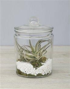 plants: Himnorum Air Plant in Glass Jar!