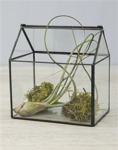 plants: Pseudo Baileyi Air Plant in Moss Glass House!
