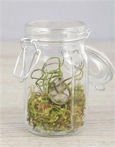 plants: Bulbosa Air Plant in Glass Top Jar!